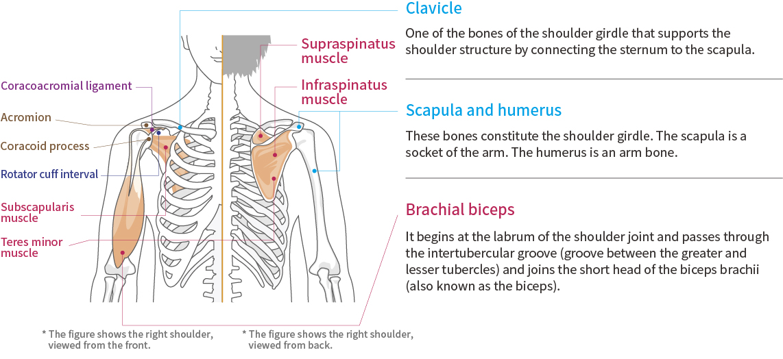 肩部功能與解剖