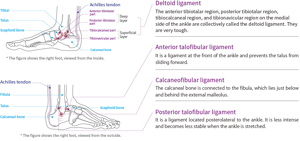 Ankle and Achilles tendon function and anatomy