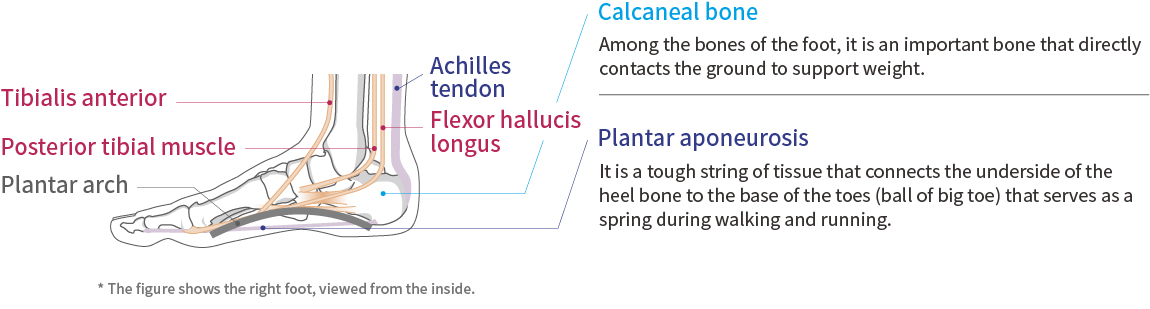 Foot function and anatomy
