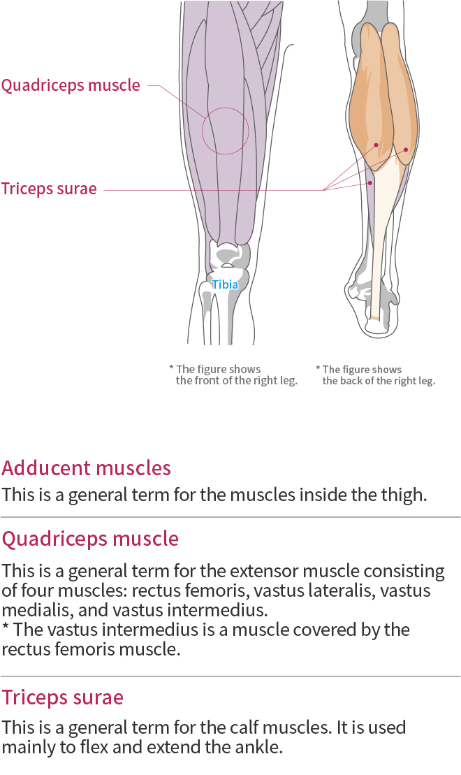 Function and anatomy of the Thigh, Calf and Shin