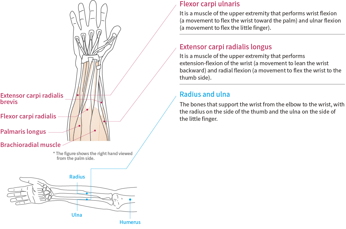 Wrist Function and Anatomy